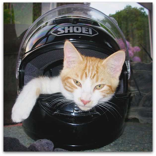 Hector the orange biker cat