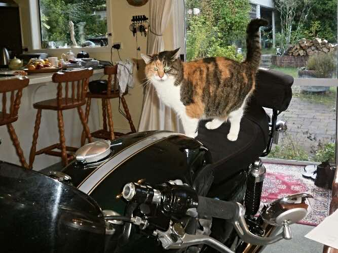 Cally-the-anxious-motorcycle-cat