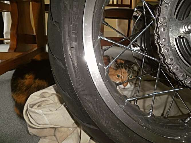 Cally-the-worried-motorcycle-cat