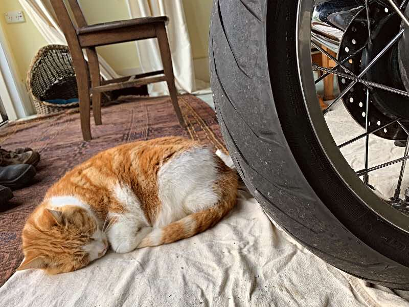biker cats guard motorcycle