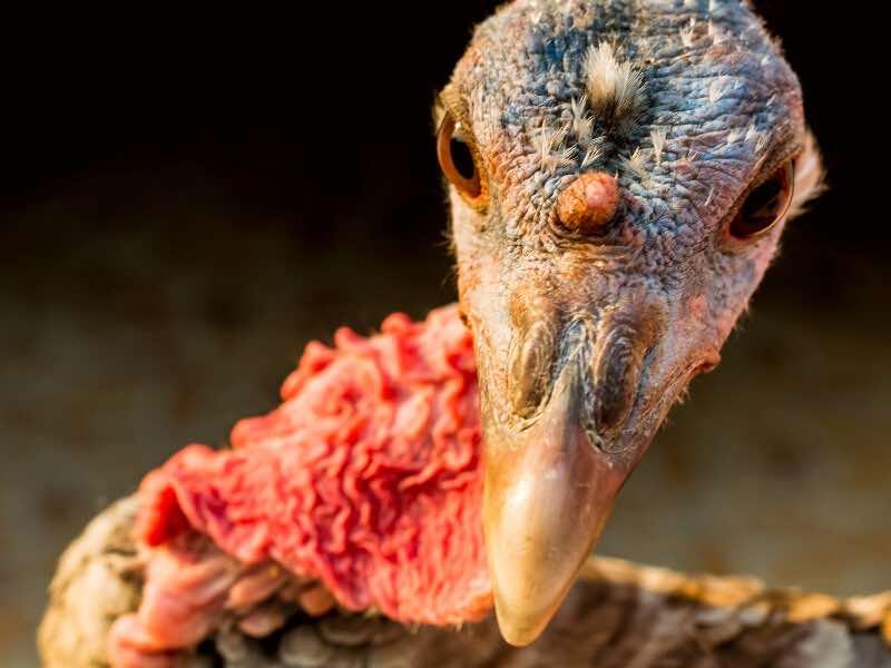 motorcycle turkey neck skin